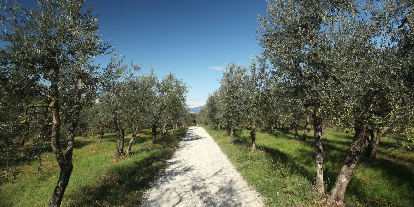 Tuscan Temptations Olive grove