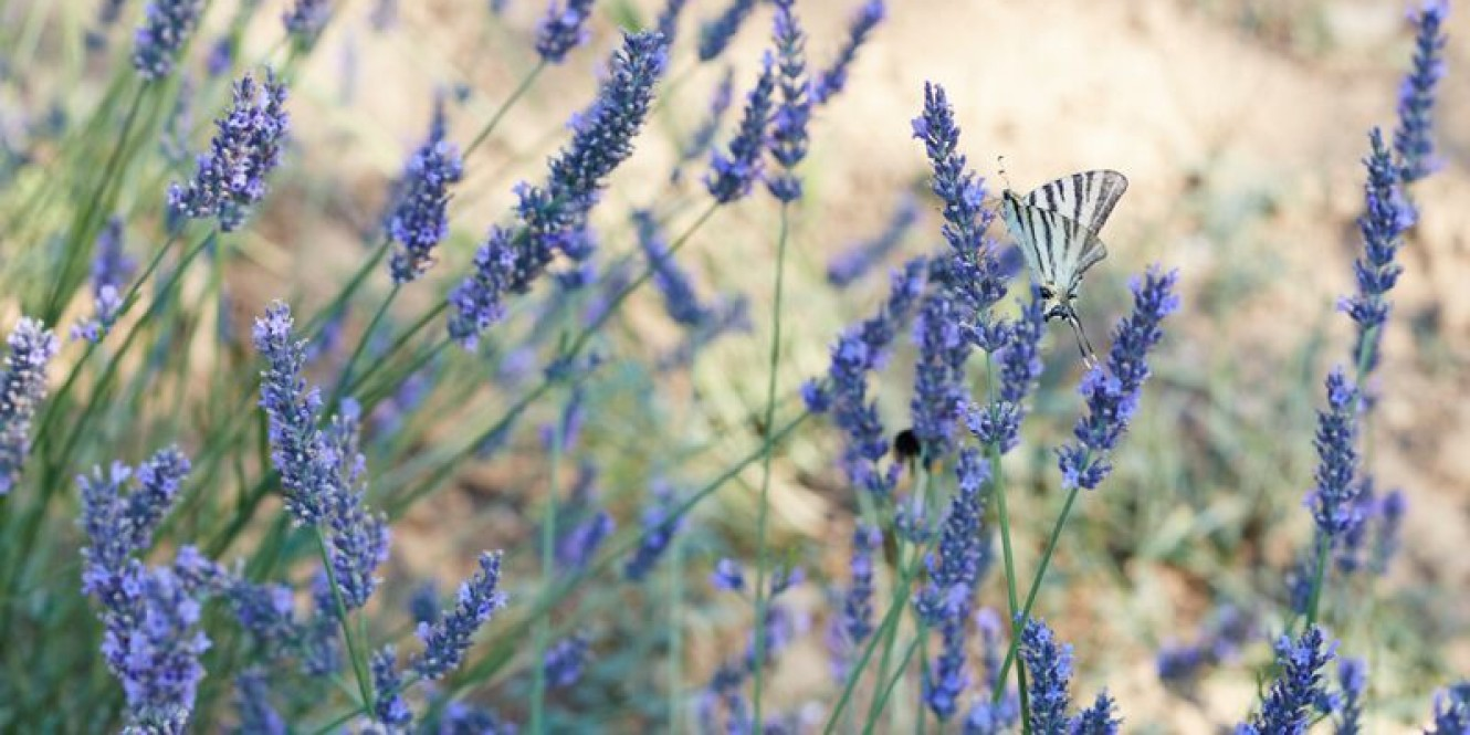 Aix garden Lavender 320 preview